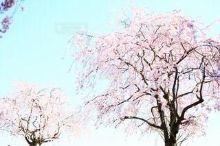 桜の写真・画像素材[3084306]