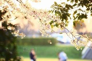 桜の写真・画像素材[3084303]