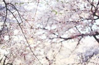 桜の写真・画像素材[3084332]