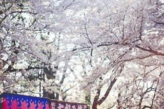 桜の写真・画像素材[3084343]
