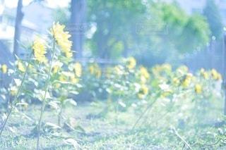 向日葵の写真・画像素材[3092070]