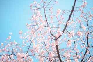 空,花,春,桜,屋外,ピンク,青,枝,樹木,桜の花,さくら,そら,ブロッサム