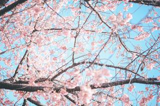 空,花,春,桜,ピンク,青,枝,樹木,桜の花,さくら,そら,ブロッサム