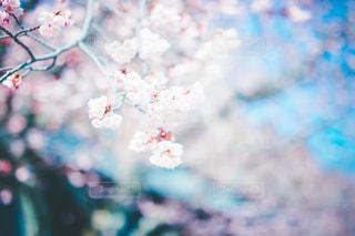 花,春,桜,屋外,ピンク,青,桜の花,さくら,ブロッサム
