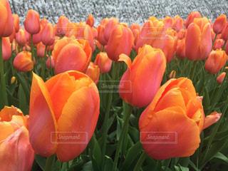 オレンジのチューリップの写真・画像素材[3080494]
