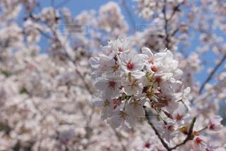 桜の写真・画像素材[3082175]