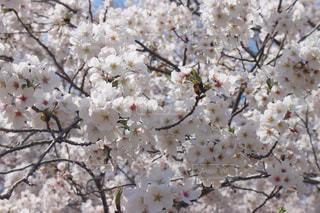 桜の写真・画像素材[3082176]