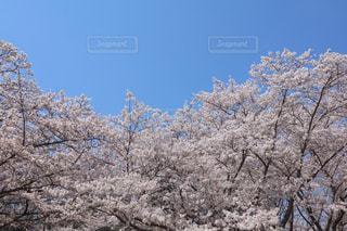 桜の写真・画像素材[3082171]