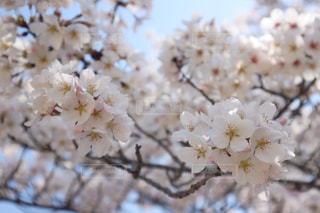 桜の写真・画像素材[3082172]