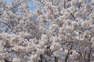 桜の写真・画像素材[3082202]