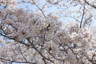 桜の写真・画像素材[3082198]