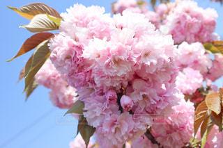 八重桜の写真・画像素材[3132186]