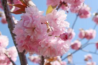八重桜の写真・画像素材[3132187]
