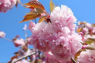 八重桜の写真・画像素材[3132185]