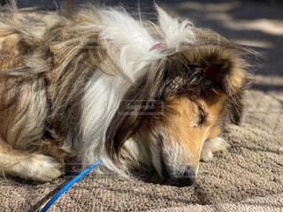 犬,動物,白,晴れ,茶色,昼寝,外