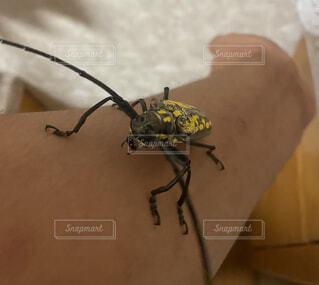 動物,屋内,黒,黄色,手,腕,壁,人,昆虫,カミキリムシ