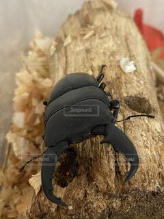 動物,屋内,木,黒,壁,虫,昆虫,チップ,クワガタ
