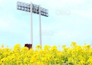 菜の花の写真・画像素材[4312841]