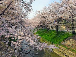 愛知 黒川通りの桜並木の写真・画像素材[3087897]
