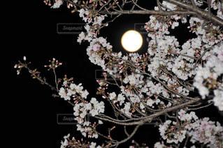 フルムーンと桜の写真・画像素材[3087588]