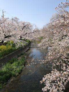 菜の花と桜の写真・画像素材[3089146]