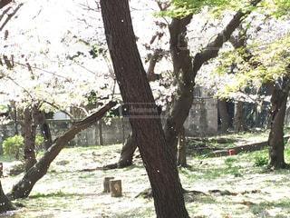 桜吹雪の写真・画像素材[3092101]