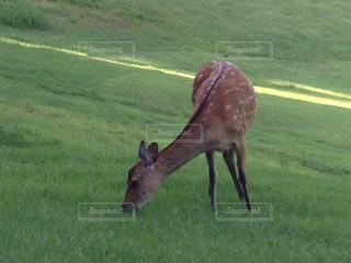 ゴルフ場にあらわれた小鹿の写真・画像素材[3096845]