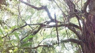 がじゅまると月桃の写真・画像素材[3093291]