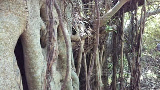 がじゅまるの根の写真・画像素材[3095019]