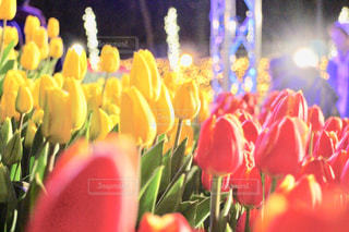 江ノ島のチューリップの写真・画像素材[3087989]