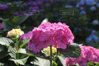 赤紫のあじさいの写真・画像素材[3382151]