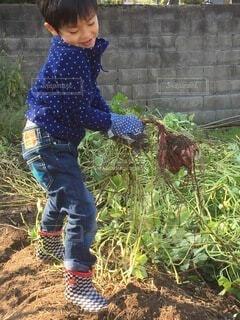 食べ物,屋外,野菜,人,食品,幼児,畑,男の子,さつまいも,食材,イモ,芋掘り,フレッシュ,とれたて,ベジタブル,サツマイモ,いも掘り