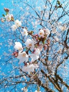 桜の写真・画像素材[3099782]