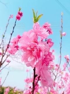 桃の花の写真・画像素材[3099984]