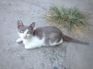 グレーの子猫の写真・画像素材[3109957]