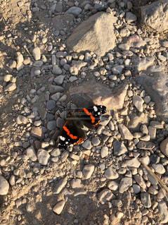 黒と赤の蝶の写真・画像素材[3097449]