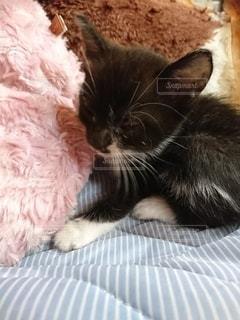 クッションでお昼寝な子猫の写真・画像素材[3106144]