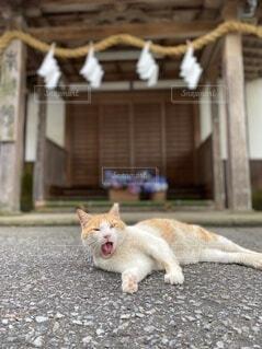 猫,自然,花,夏,動物,神社,白,かわいい,あじさい,景色,あくび,地面,お参り,御朱印,ネコ,インスタ映え