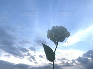 自然,空,花,屋外,太陽,植物,白,雲,青,夕暮れ,バラ,夕方,薔薇,人物,外,人,ナチュラル,フォトジェニック,映え