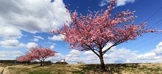 青空と桜、流れる雲の写真・画像素材[3124190]