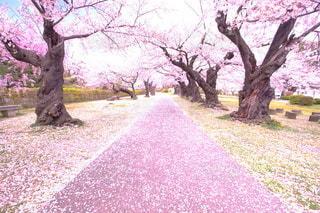 桜のじゅうたんの写真・画像素材[3117032]