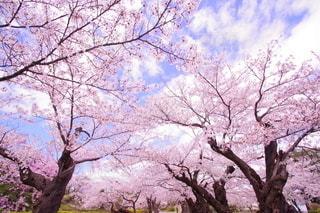 桜並木の写真・画像素材[3117035]
