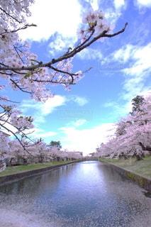 桜並木の写真・画像素材[3117036]