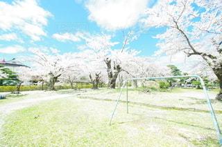 鶴岡公園の桜の写真・画像素材[3117040]