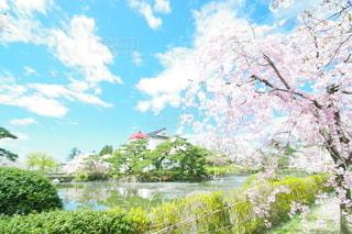 鶴岡公園の桜の写真・画像素材[3117043]