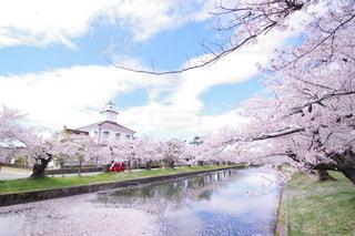 鶴岡公園の桜の写真・画像素材[3117045]