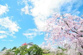 鶴岡公園の桜の写真・画像素材[3117080]