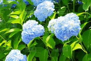 紫陽花の写真・画像素材[3120093]