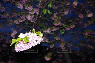 艶やかな桜の写真・画像素材[3122399]