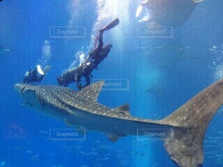 ジンベイザメの写真・画像素材[4921855]